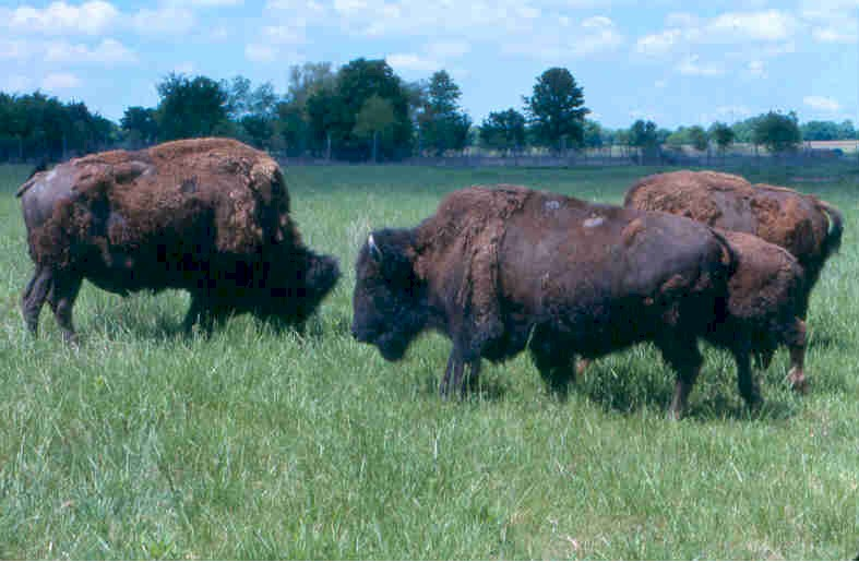 Bison grazing on Mined Land # 1