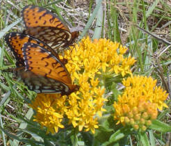 Regal Fritillaries on Butterfly Milkweed