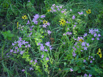 Wildflowers abound in the glade at Schermerhorn Park