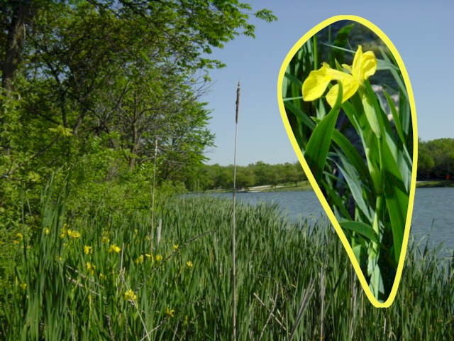 Yellow Iris is abundant on the shoreline